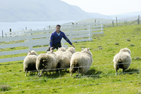 Getting the sheep through an obstacle course