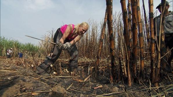 Cutting down the sugar cane