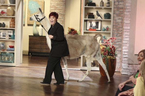 2. Llama Drama At THE TALK.