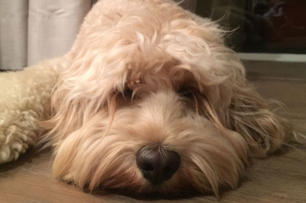 Are you a dog or did Wilford Brimley sleep with a shag rug?
