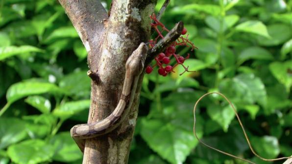 Cat Ayes (Leptodeira annulata)