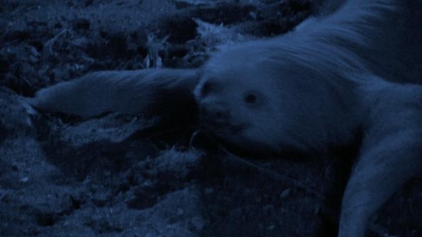 Hoffman's Two-Toed Sloth (Choloepus hoffmanni)