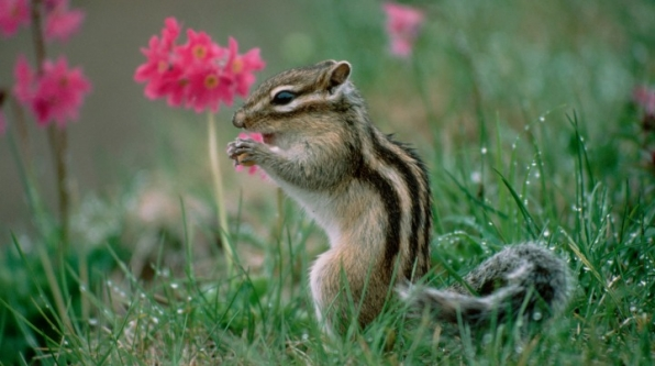 3. Siberian Chipmunk