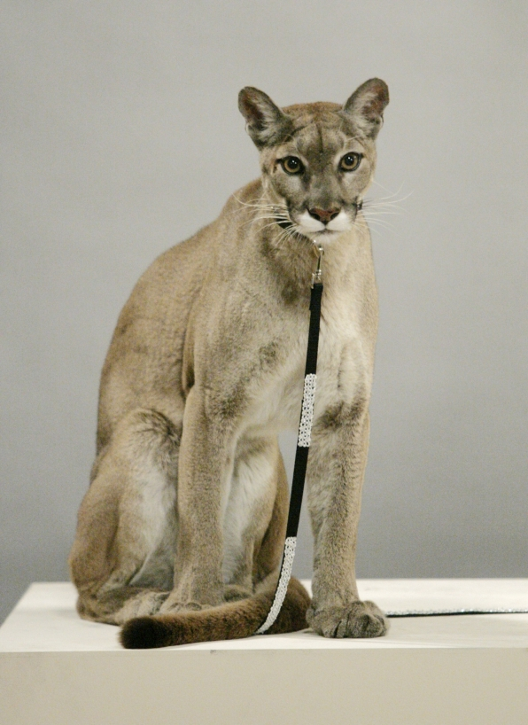 Cougar vs. cougar