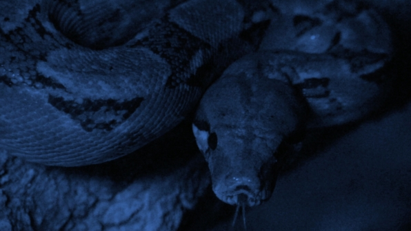 Lira Snake (Trimorphodon biscutatus)