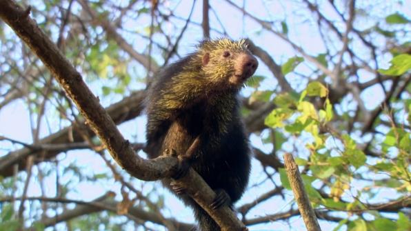 Mexican porcupine (Sphiggurus mexicanus)