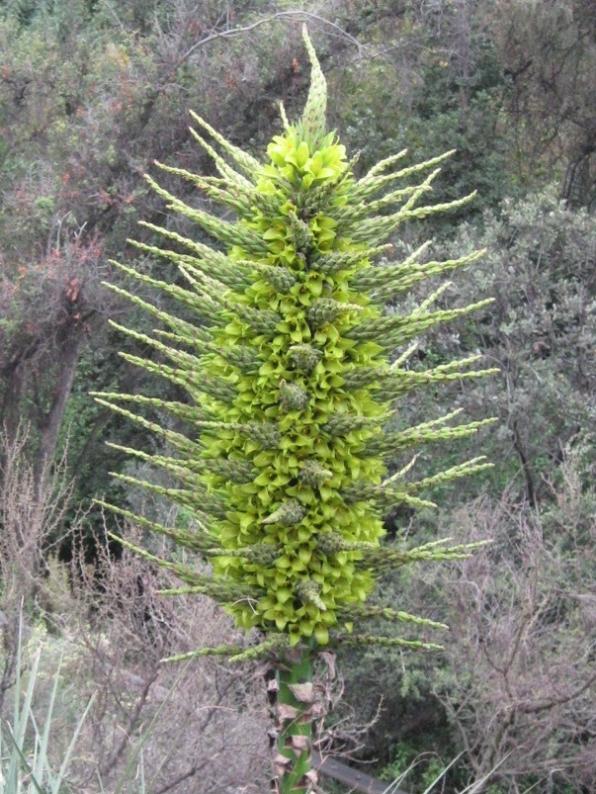 The Puya Chilensis
