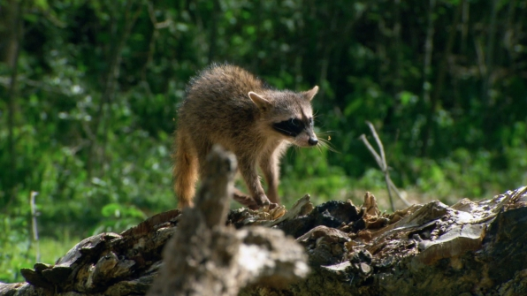 Raccoon (Procyan cancrivorus)