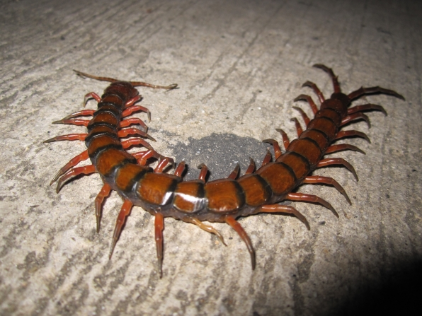 The Amazonian Giant Centipede