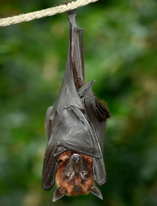 vampire bats sleeping